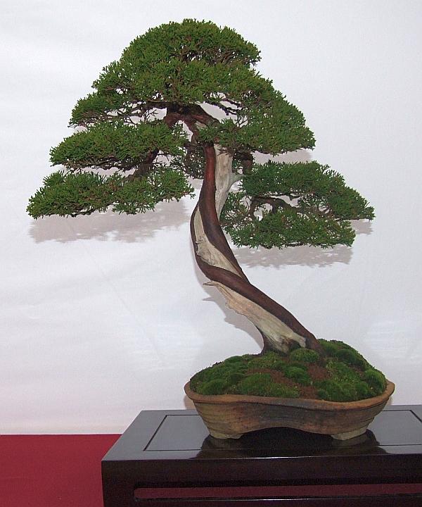 EUK Juniperus Lydie carpentier 5