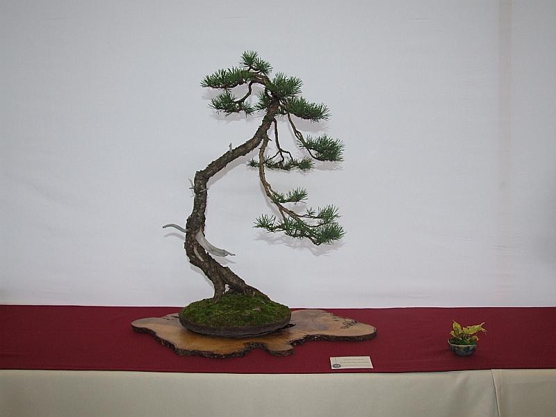 EUK Pinus Rick van den Eijnden 2
