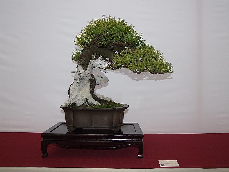 EUK Pinus cembra JP Polmans 1