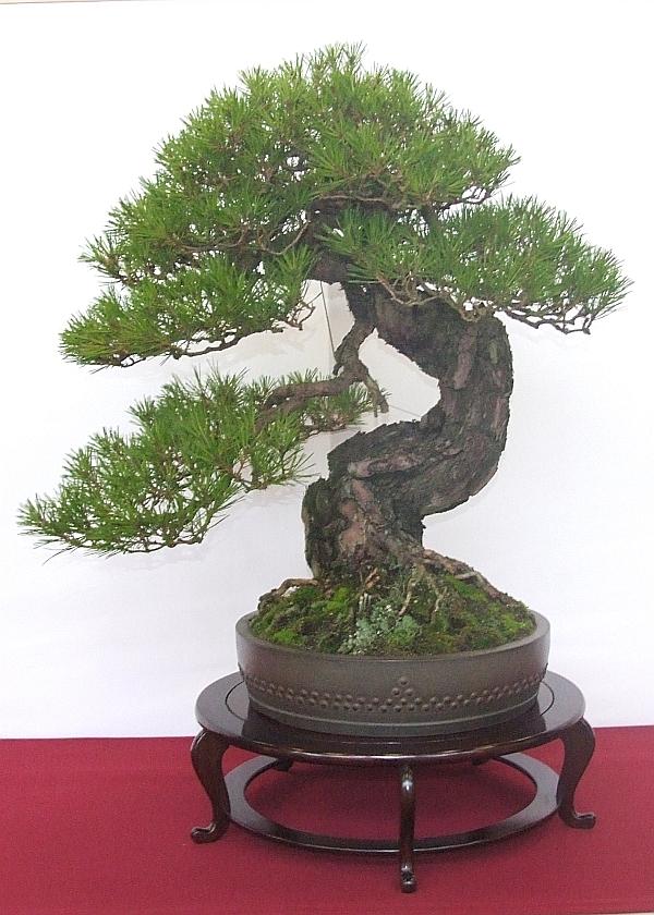 EUK Pinus densiflora JP Polmans 4
