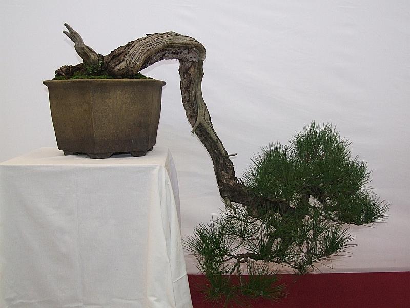 EUK Pinus densiflora Lydie 4