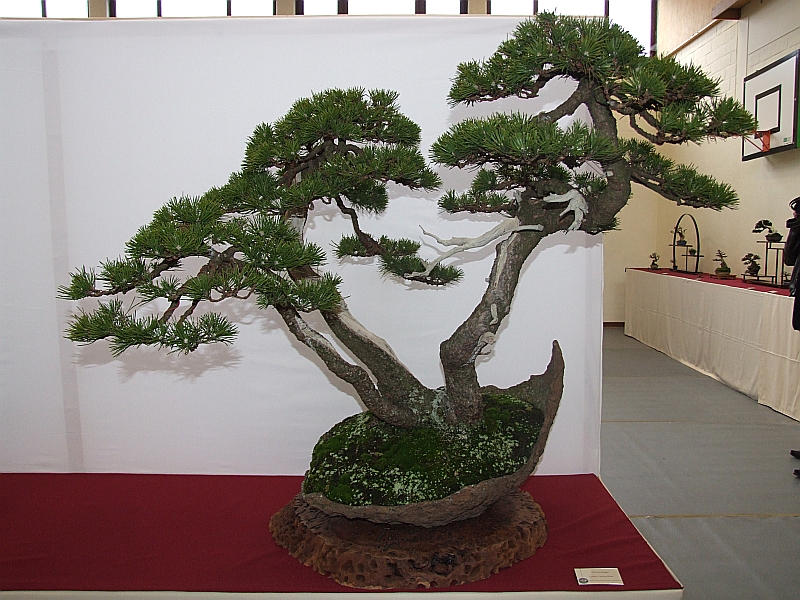 EUK Pinus driestam Lydie 2