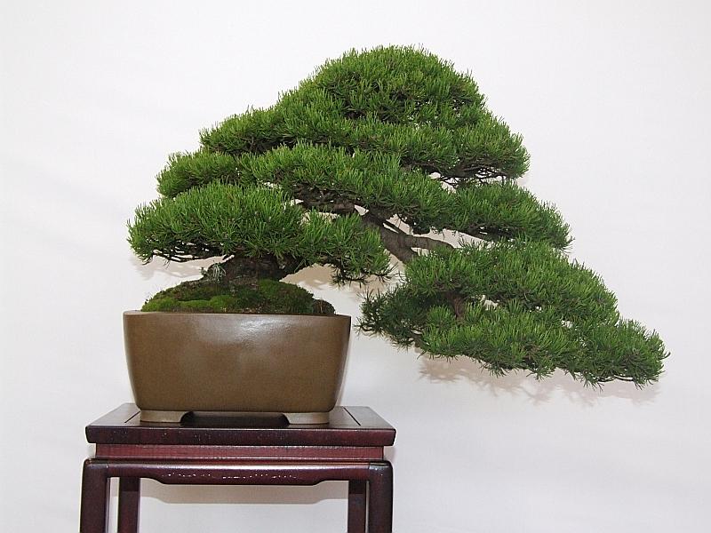 EUK Pinus mugo JP Polmans 3
