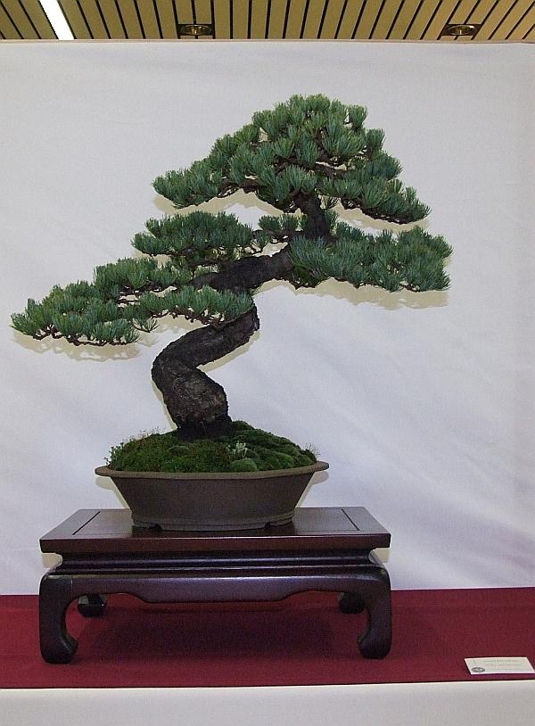 EUK Pinus parviflora Willy van de Ven 3