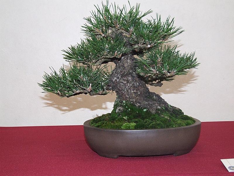 EUK Pinus thunbergii 2 Lydie 1