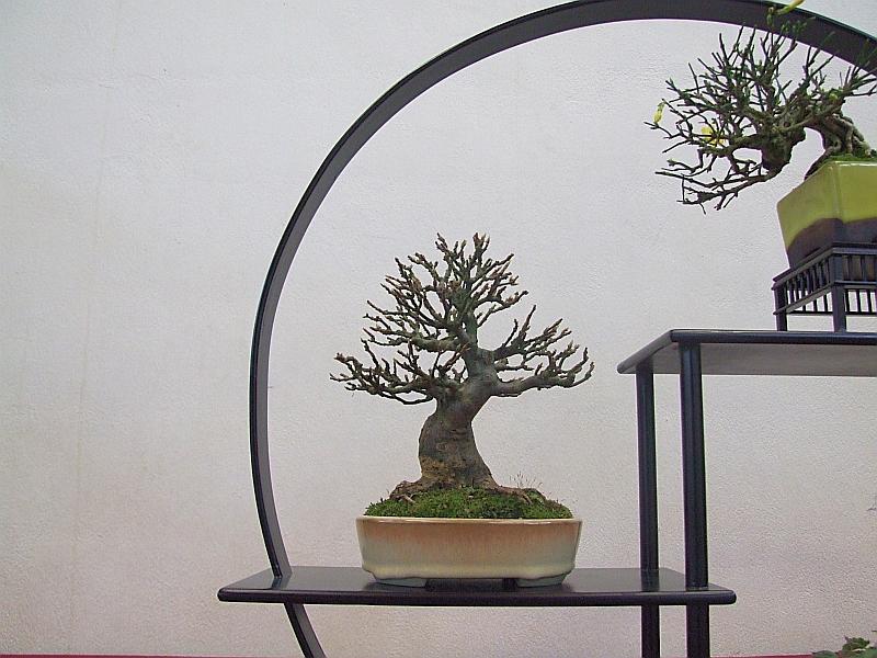 EUK Shohin Acer buergerianum Hans 5
