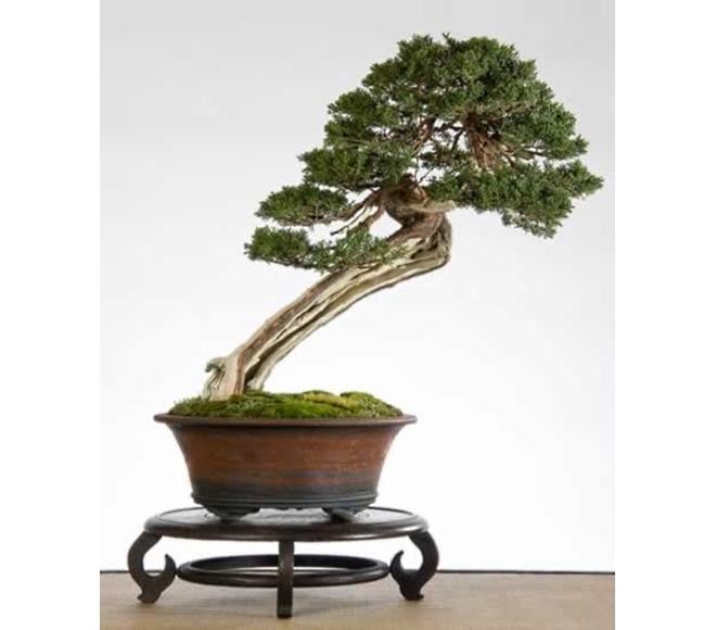 Juniperus Jef Corthouts