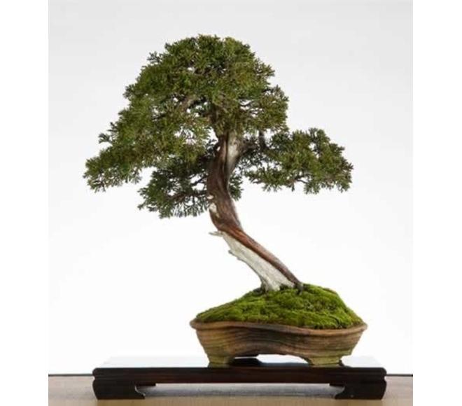 Juniperus Lydie Carpentier