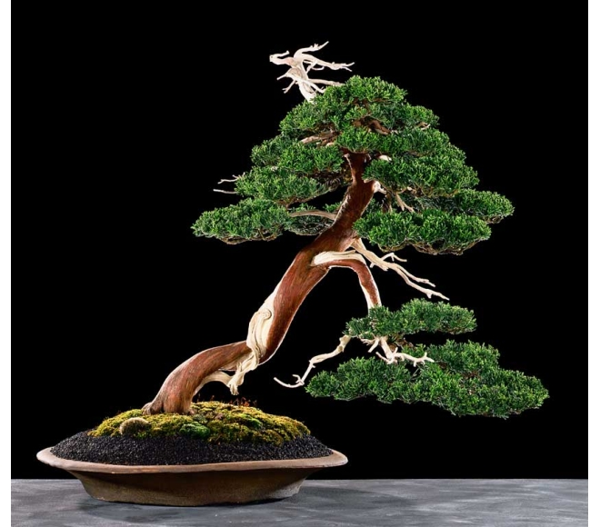 Juniperus chinensis Jan Dieryck