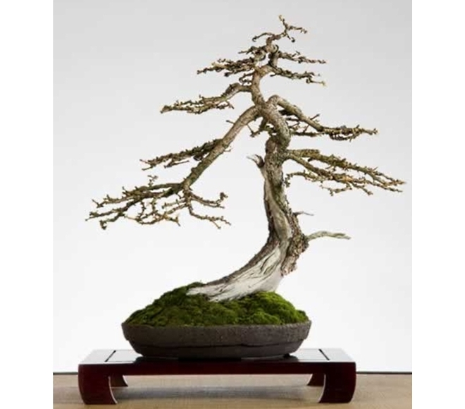 Larix Guido Thomassen