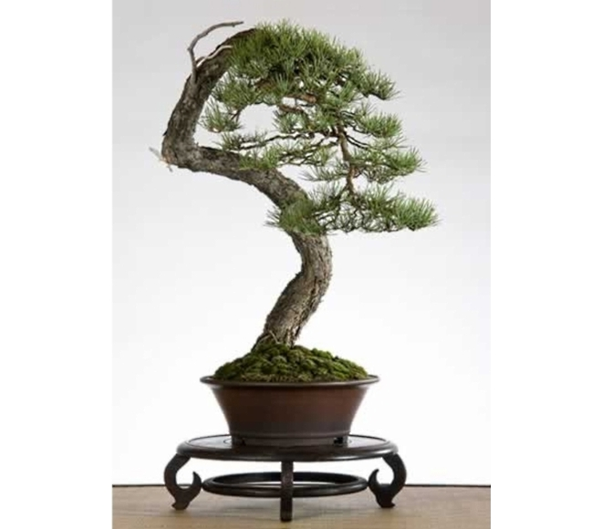 Pinus Jan Dieryck