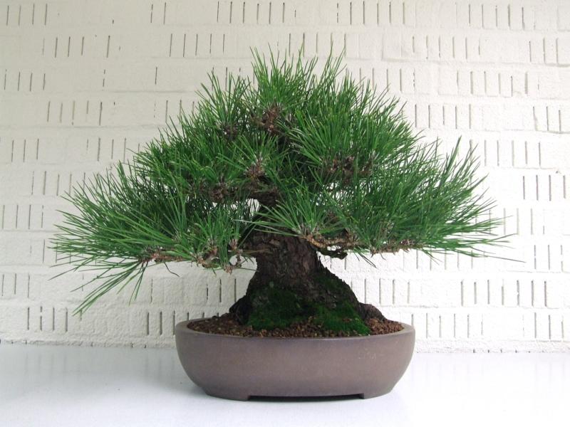 Pinus thunbergii Lydie Carpentier
