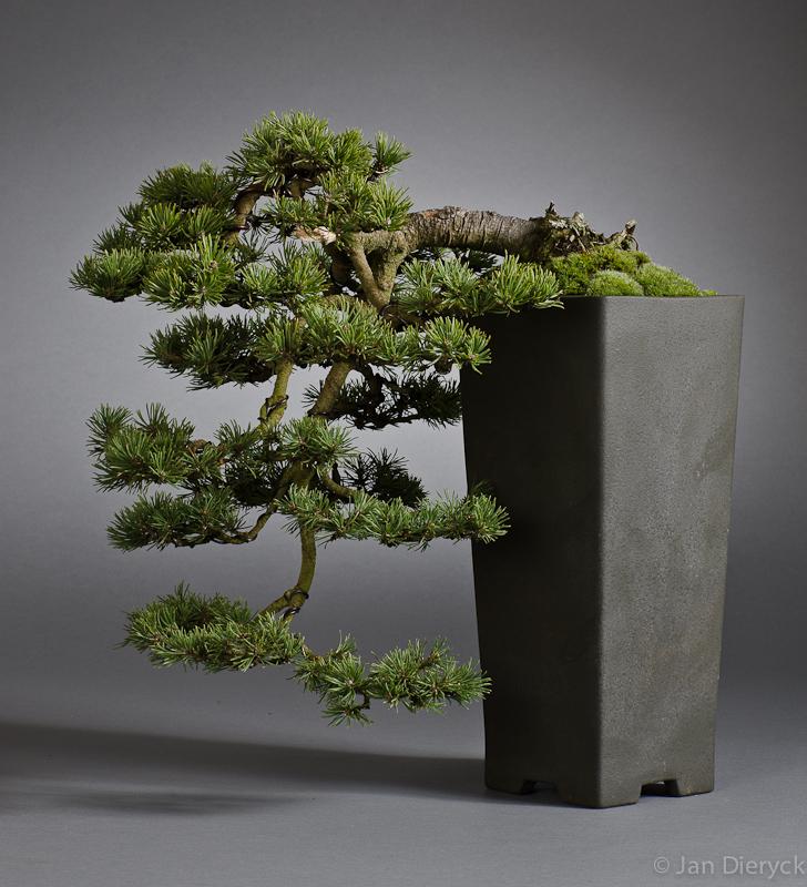 Pinus mugo - Lucien Anteunis
