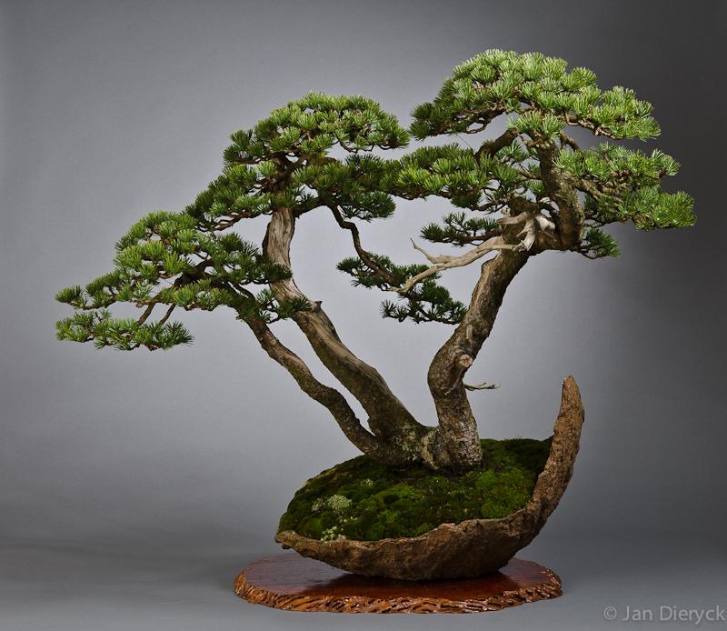 Pinus mugo - Lydie Carpentier