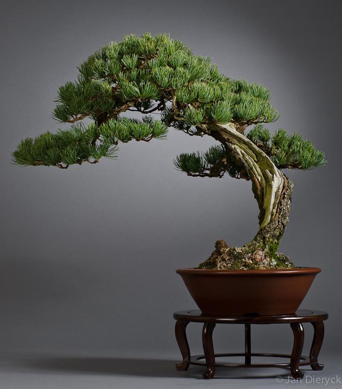 Pinus parviflora - Jean-Paul Polmans