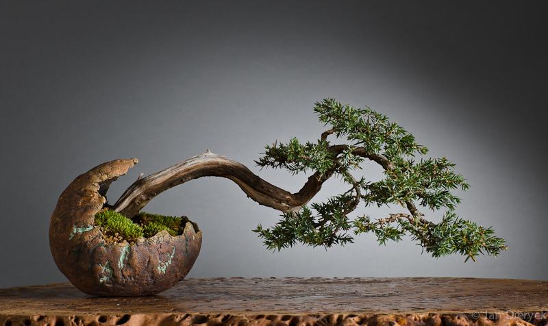 Juniperus - ???