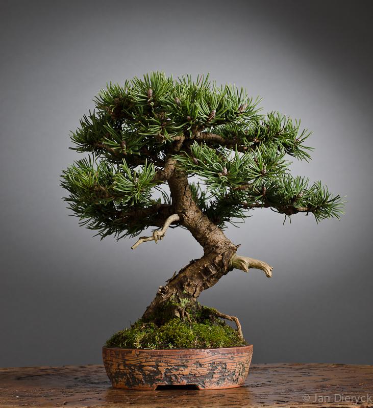 Pinus - ???