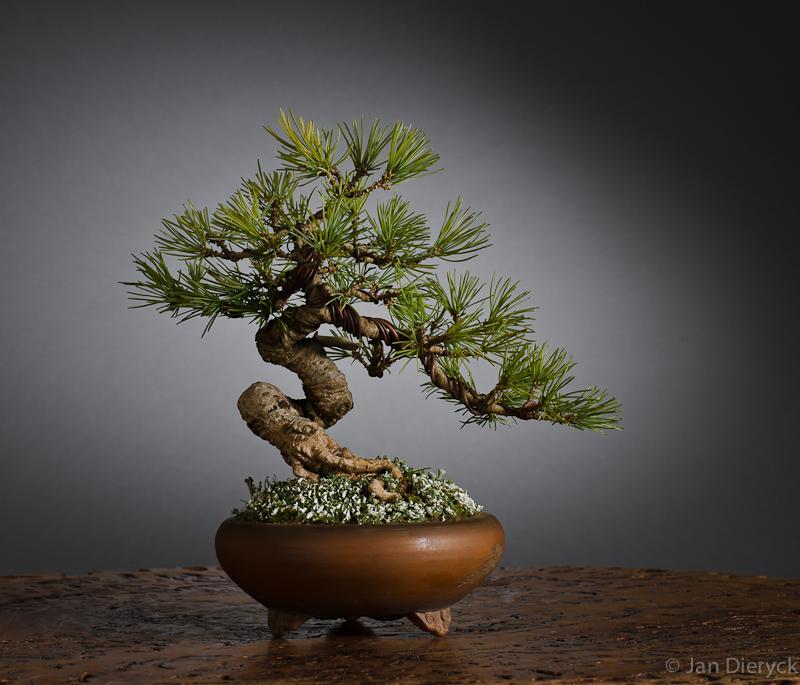 Pinus shohin - Martin Tielens