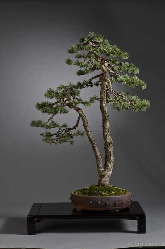 Pinus - Walter Bleyen