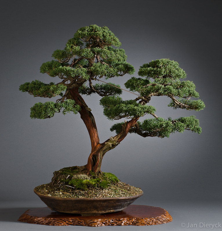 Juniperus - Willy Goossens