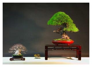 Pinus Mario Komsta