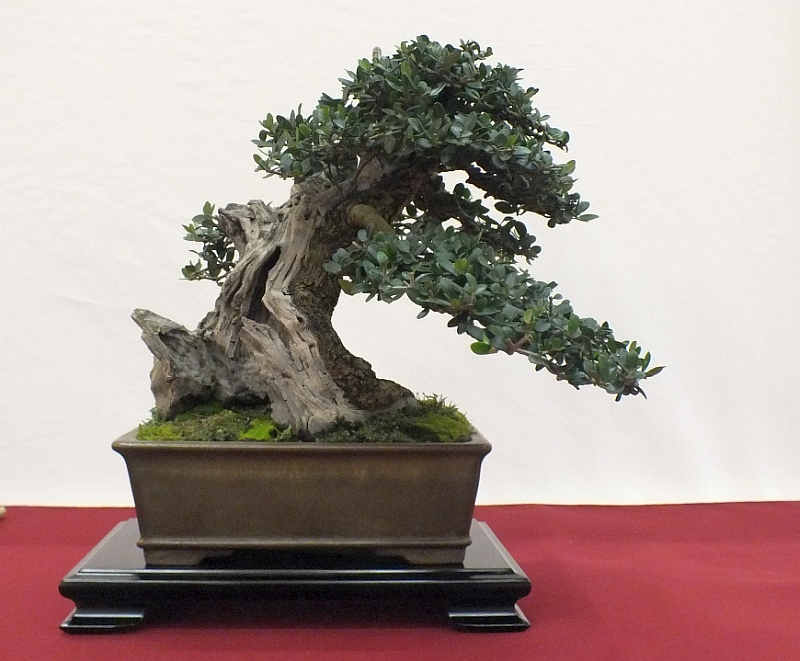 EUK Bonsai Ten 2013 025d