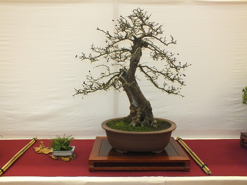 EUK Bonsai Ten 2013 036c