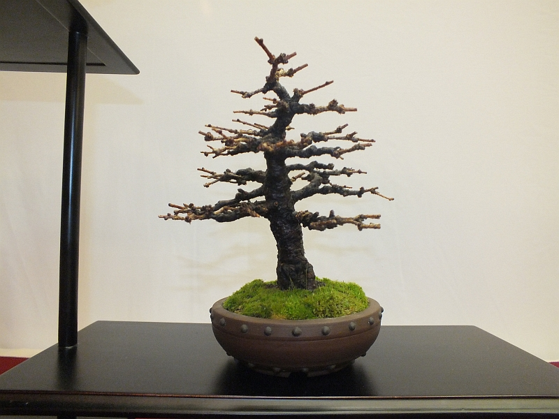 EUK Bonsai Ten 2013 039ca