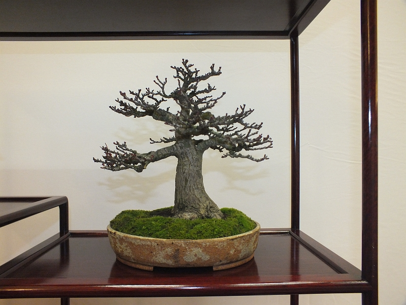 EUK Bonsai Ten 2013 040da