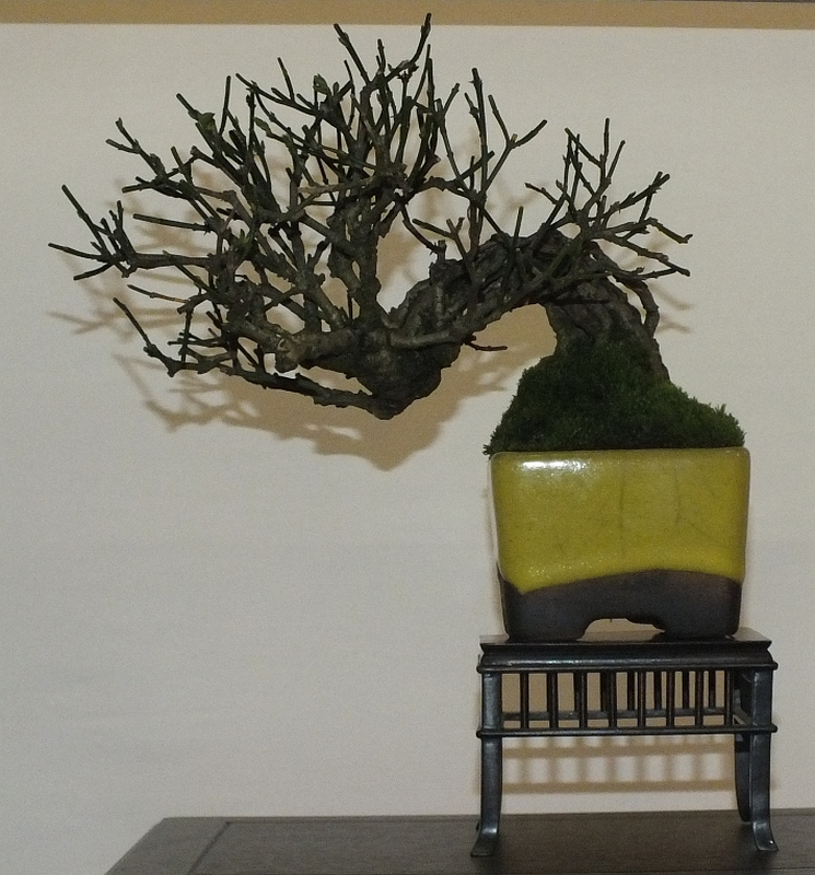 EUK Bonsai Ten 2013 043f