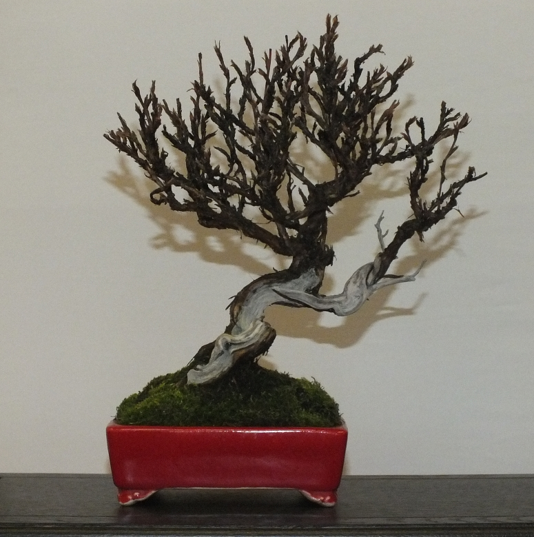 EUK Bonsai Ten 2013 043g