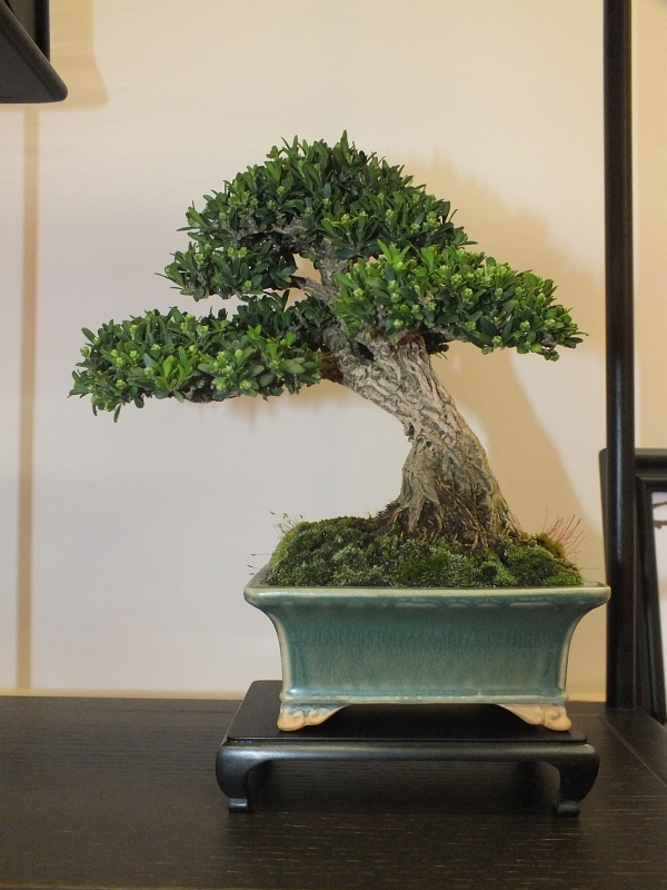EUK Bonsai Ten 2013 043ha