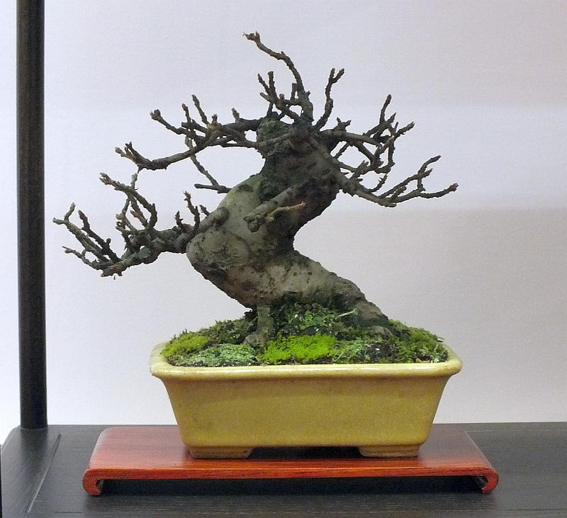 EUK Bonsai Ten 2013 043j