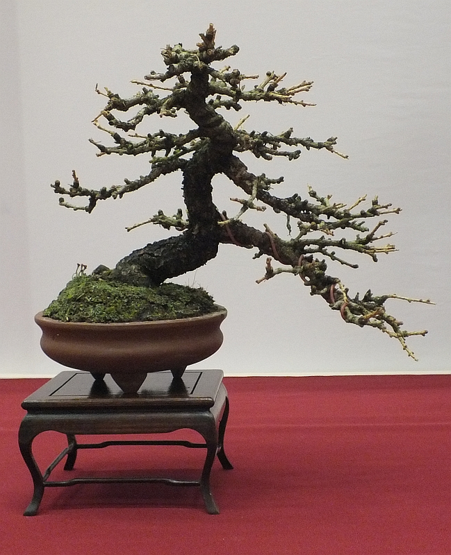 EUK Bonsai Ten 2013 043l