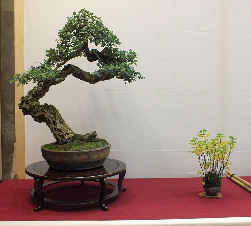 EUK Bonsai Ten 2013 046a