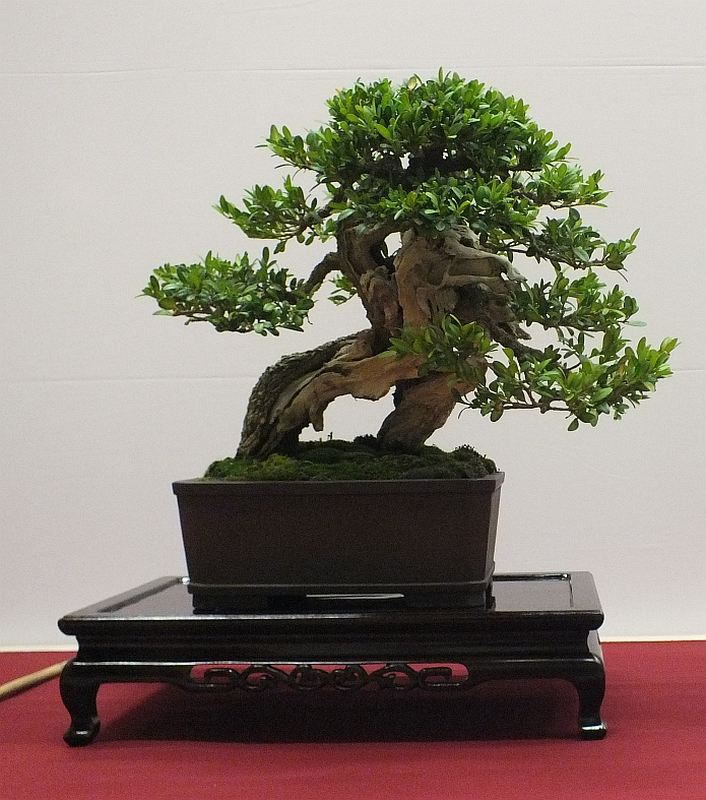 EUK Bonsai Ten 2013 055b