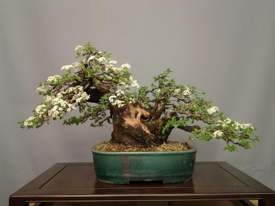 Bloeiende Prunus mahaleb - Jean-Paul Polmans