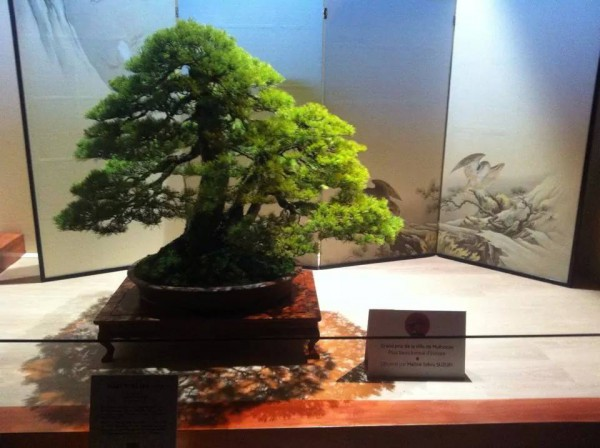 EUK Euro Top 30 bonsai