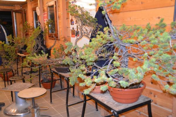 Een mooi lot yamadori Pinus om ons project op te starten...