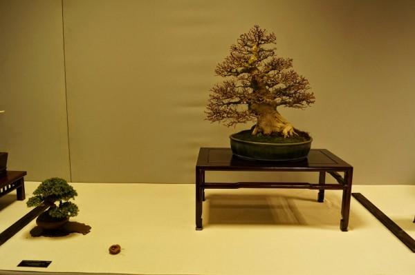 Acer shishigashira Paul Putseys