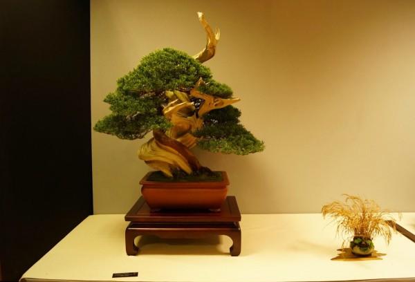 Juniperus JP