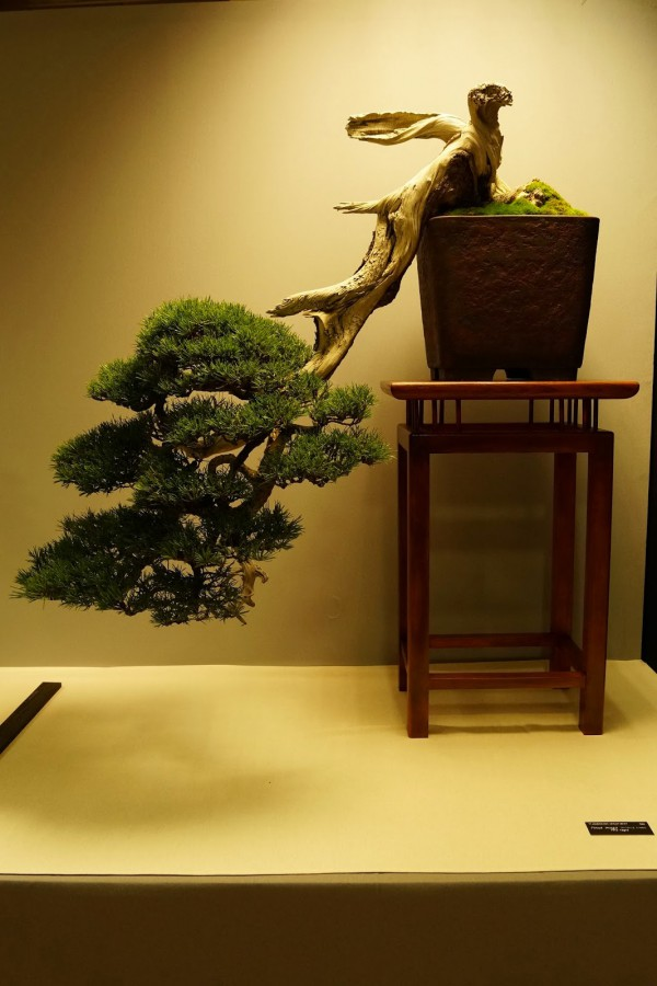 Pinus Paul Putseys
