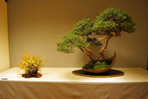 Pinus mugo Lydie small