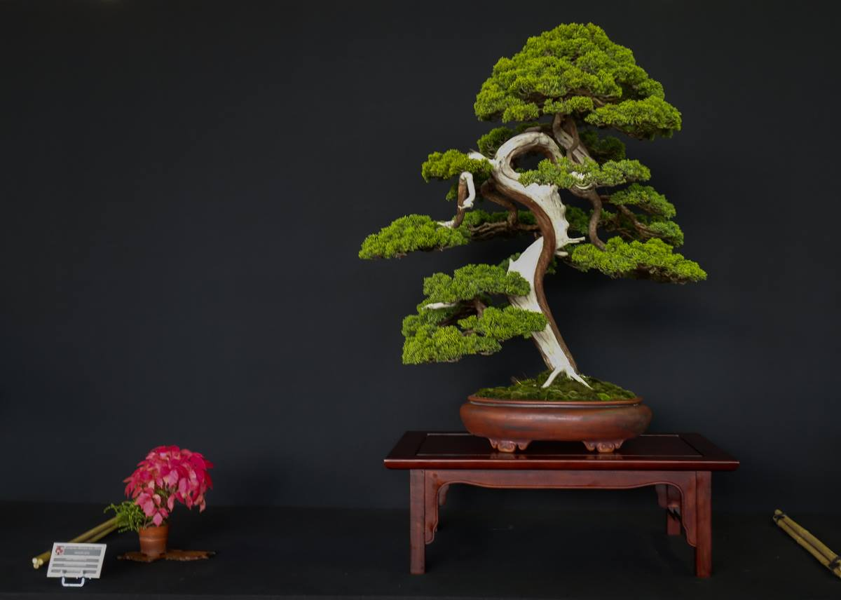 juniperus-cindy