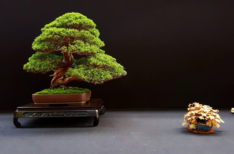 juniperus-lydie