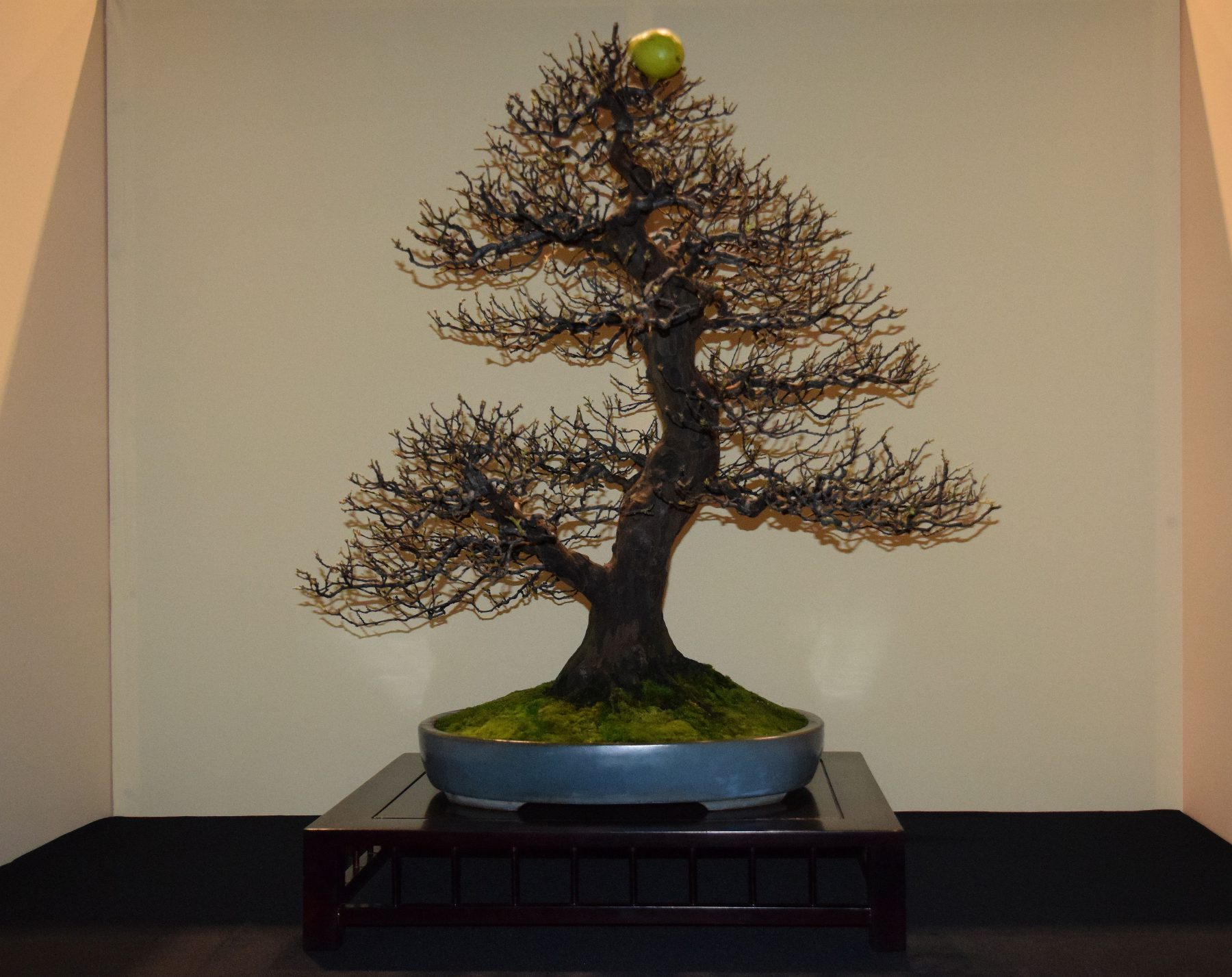 euk-bonsai-ten-2016-jp-polmans-collectie-001