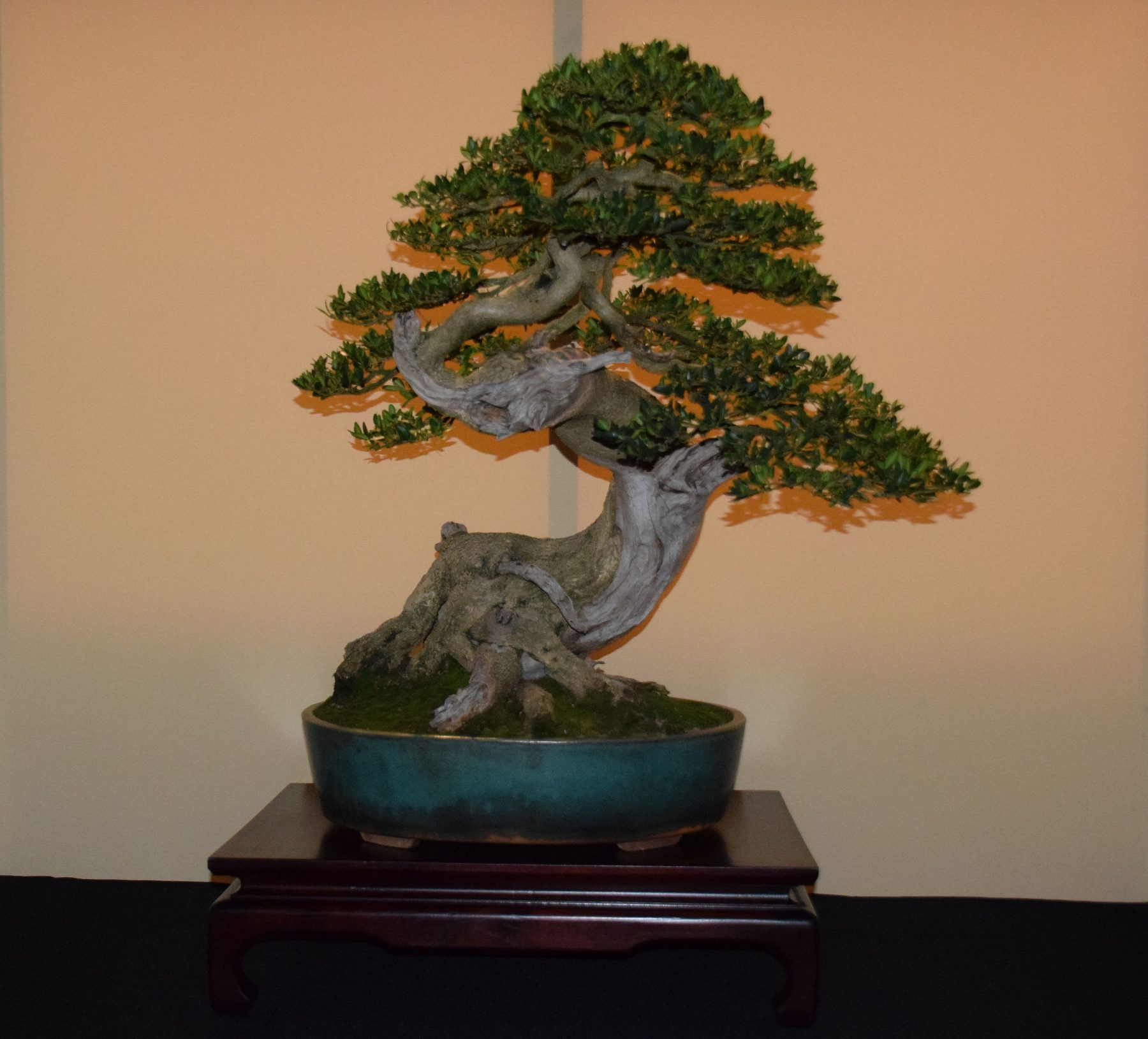 euk-bonsai-ten-2016-jp-polmans-collectie-004