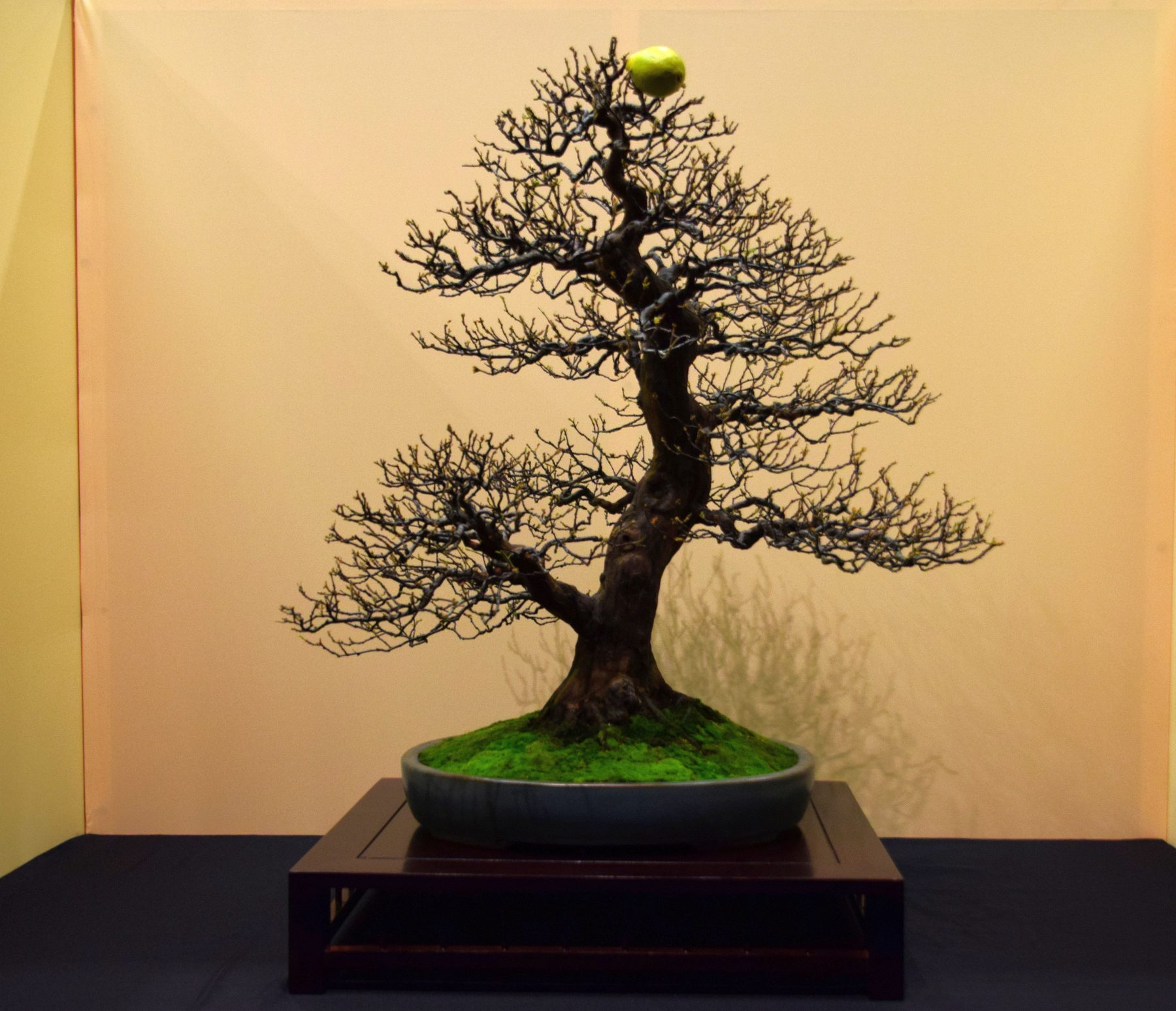 euk-bonsai-ten-2016-jp-polmans-collectie-007