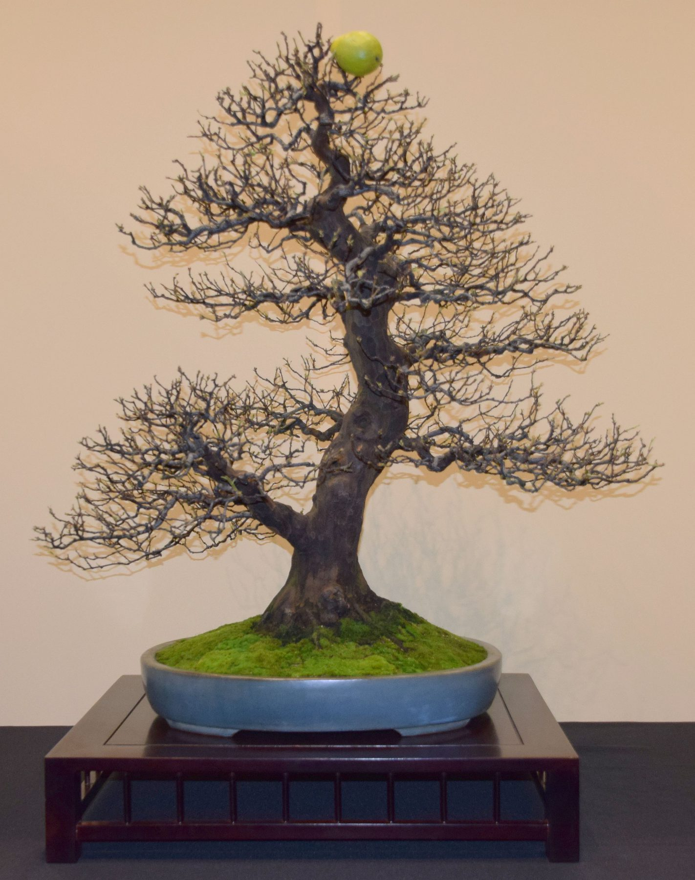 euk-bonsai-ten-2016-jp-polmans-collectie-008