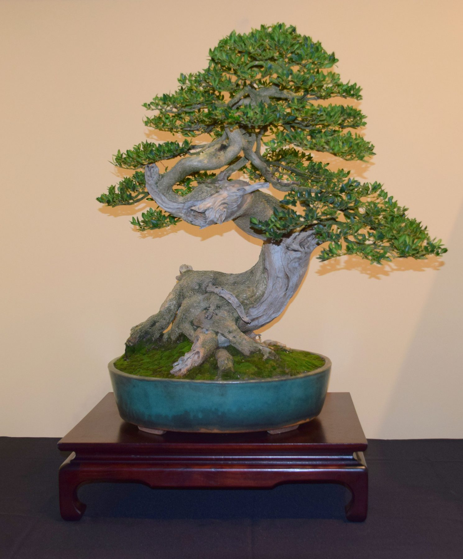 euk-bonsai-ten-2016-jp-polmans-collectie-012